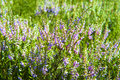 Heather abstract background of flowering Royalty Free Stock Photography
