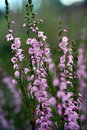Heather (Calluna vulgaris) Royalty Free Stock Photography