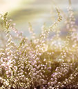 Heather close up of erica ericaceae beautiful pastel image of summer reminiscence Royalty Free Stock Photo