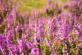 Heather close up of in lueneburg heath in summer Royalty Free Stock Images