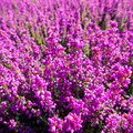 Heather close up of in lueneburg heath in summer Royalty Free Stock Photo