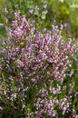 Heather close up of purple calluna vulgaris flowers vertical Royalty Free Stock Images