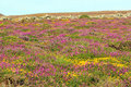 Heather or ericaceae colourful in bloom on a welsh hillside Royalty Free Stock Images