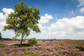Heather field blooming on hills in the netherlands Royalty Free Stock Image