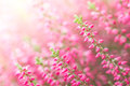 Heather flowers fall flower in the garden Royalty Free Stock Images