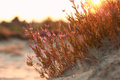 Heather flowers on sand hill at sunset Royalty Free Stock Photo