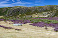 Heather on the hills covered in region of sanabria zamora province spain Royalty Free Stock Photography