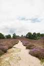 Heather landscape with sand path Stock Image