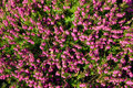 Heather pink in the close up view Royalty Free Stock Photo