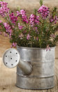 Heather in a watering can pink small zinc Stock Photos