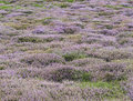 Heather white and purple flowering in the dunes of texel Stock Photography