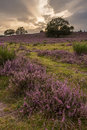 Heathland Royalty Free Stock Image