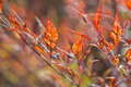 Heavenly bamboo nandina domestica also known as Royalty Free Stock Photo