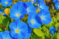Heavenly blue ipomoea flowers Royalty Free Stock Photo