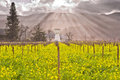 Heavenly Light Streaming Through the clouds onto Napa Valley Vineyards and Mustard Blooming Royalty Free Stock Photo