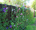 Heavenly sweet peas photo of growing tall against a black fence to show off all the various colours Stock Photo