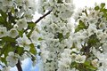 Heavenly White Cherry Tree Flowers Stock Photo