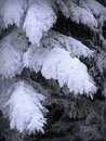 Heavily snowed branches of pine winter woods in norther bohemia Stock Photos