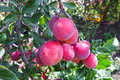 Heavy branch of a red plum Royalty Free Stock Photo