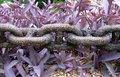 Heavy chain above tradescantia plant Royalty Free Stock Photo