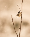 A heavy snowfall in the picos de europa national park in northwestern spain doesn t deter this happy marsh tit poecile palustris Royalty Free Stock Images