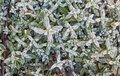 Hebe Leaves  Form A Pattern. Hebe On The Flowerbed. Top View_