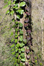 Hedera colchica the plant on the tree trunk krasnodar region russia Stock Photos