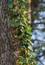 Hedera Helix climbs up a tree Royalty Free Stock Photo