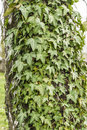 Hedera helix common ivy english ivy european ivy ivy on the bark of betula pendula silver birch warty birch Stock Image
