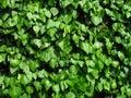 Hedera hibernica or irish ivy green climbing plant, green leaves of creeper, medicinal plant, natural botanic texture Royalty Free Stock Photo
