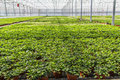 Hedera nursery in a greenhouse Royalty Free Stock Photo
