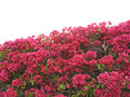 Hedge from bougainvillea Stock Image