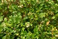 Hedge fence.Boxwood bush in  background. Small Leaf Plant Royalty Free Stock Photo