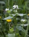 Hedge garlic alliaria petiolata gloucestershire england Stock Photo