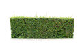 Hedge isolated green on add clipping path Stock Image