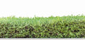Hedge isolated or green leaves wall Royalty Free Stock Photography