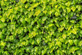 Hedge of ivy wall covered with green Stock Images
