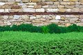 Hedge over wall background and texture for text or image Royalty Free Stock Images