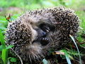 Hedgehog Royalty Free Stock Image