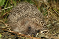 Hedgehog Royalty Free Stock Photo