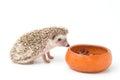 Hedgehog , African pygmy hedgehog eating Royalty Free Stock Photo