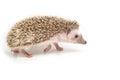 Hedgehog , African pygmy hedgehog Royalty Free Stock Photo