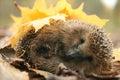 Hedgehog Autumn Leaves