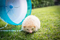 Hedgehog with a blue wheel in park Royalty Free Stock Image