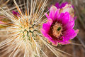 Hedgehog Cactus Stock Photos
