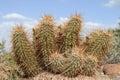 Hedgehog cactus Stock Image