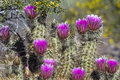 Hedgehog Cactus, Echinocereus Royalty Free Stock Photo