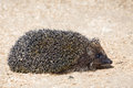 Hedgehog closeup of small funny on sawdust background side view Royalty Free Stock Images