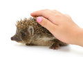 Hedgehog and cover hand isolated Royalty Free Stock Photography