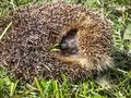Hedgehog curled frightened young brown and up on the green grass Stock Photos